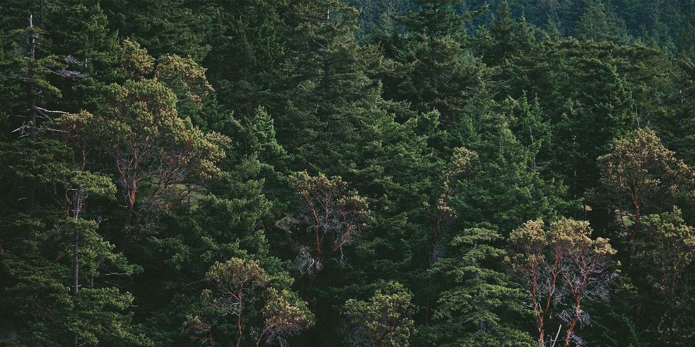 Sustainability banner image - Swedish pine tree forest