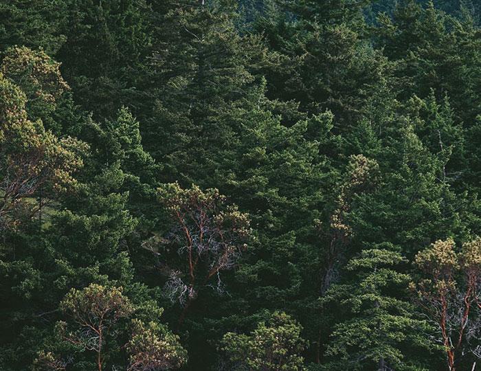 Swedish pine forest image
